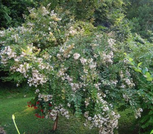 My own white Crepe Myrtle remains small enough to dead head spent blossoms to encourage a second wave of bloom.