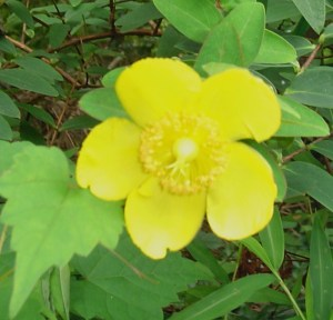 St. John's Wort.  Part of this plant have been used as a mood stabilizer since ancient times.
