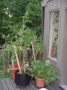 A new experiment in container gardening, learned in a seminar this spring.  The bamboo carries water to a reservoir in the bottom of the container.  The vegetables are relatively safe here on the deck.
