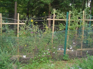 This raised bed garden, in its second season, got new and improved fencing this year.  It has produced a steady supply of flowers and vegetables since spring.