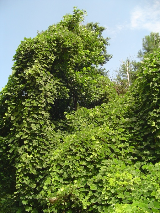 Kudzu covers everything along the side of Jamestown Road in certain spots.