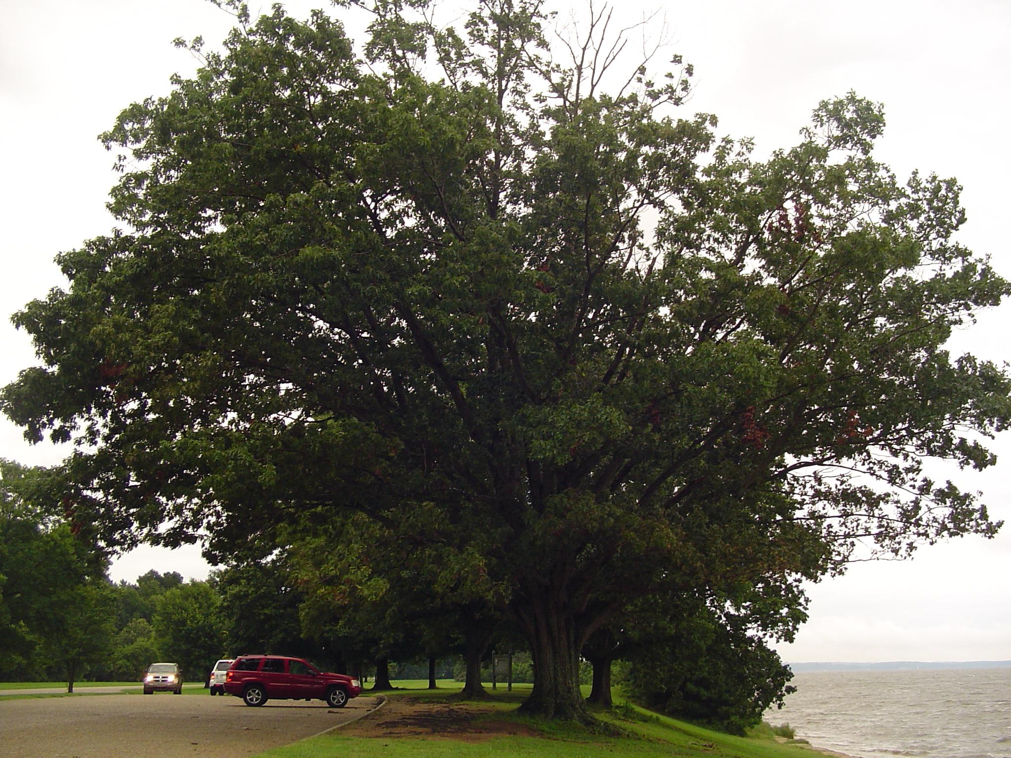 An oak tree growing beside the James River near Jamestown.