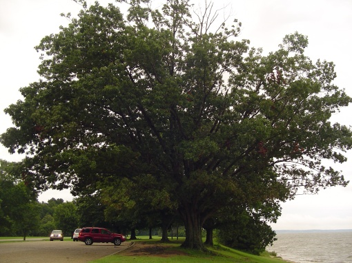 An oak tree growing beside the James River near Jamestown.