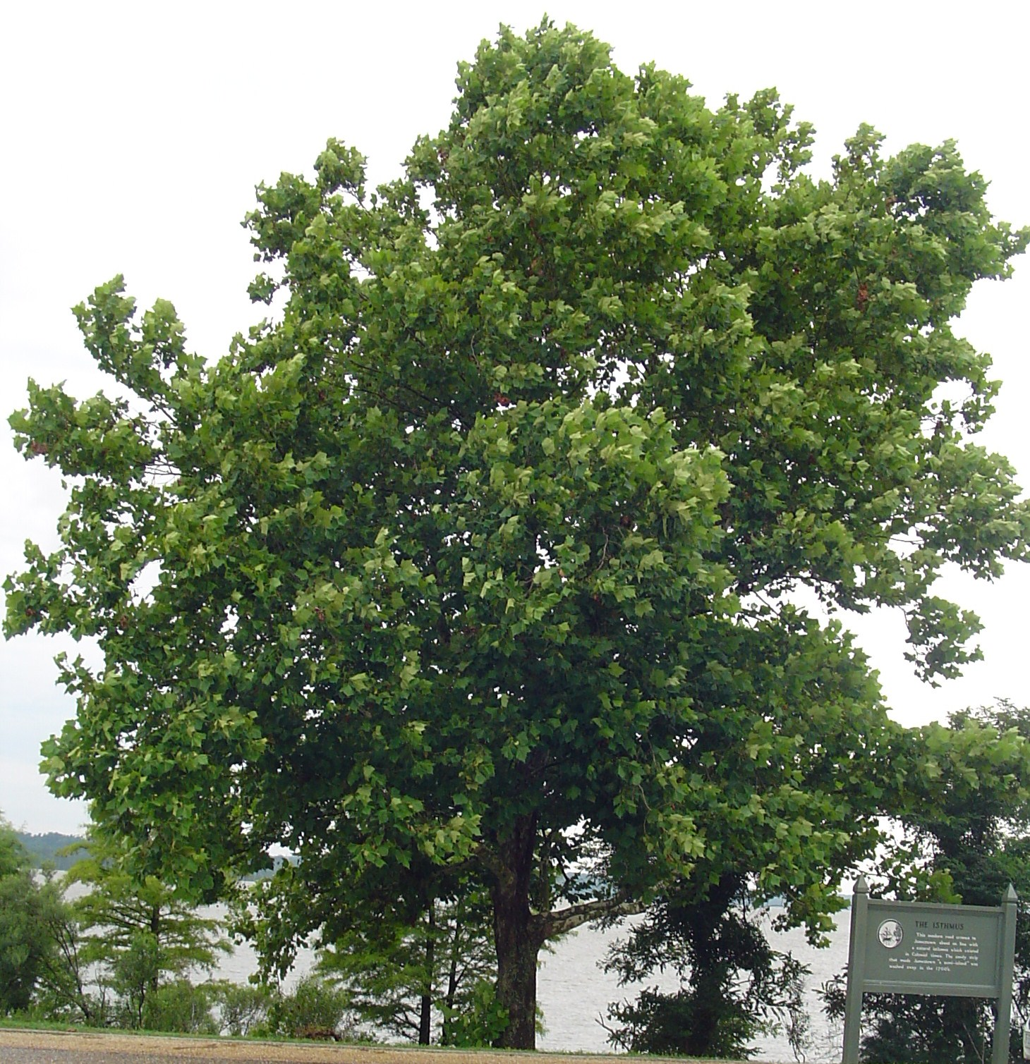 American Sycamore growing along the Colonial Parkway on the bank of the James River.