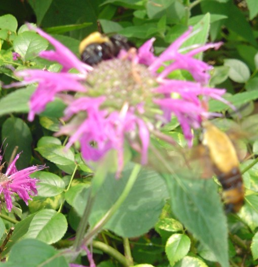 This hummingbird moth and bumblebee are sharing a Monarda blossom.