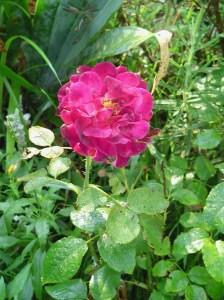 July 24 2013 garden photos 022