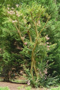 Crepe Myrtle at the entrance to Kingspoint was brutally pruned last winter and now struggles to survive.