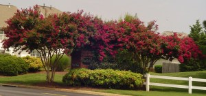 Crepe Myrtles at the entrance to a neighborhood in James City County, VA.