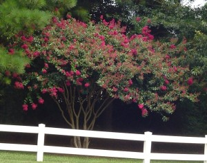 Crepe Myrtle in James City County, Virginia