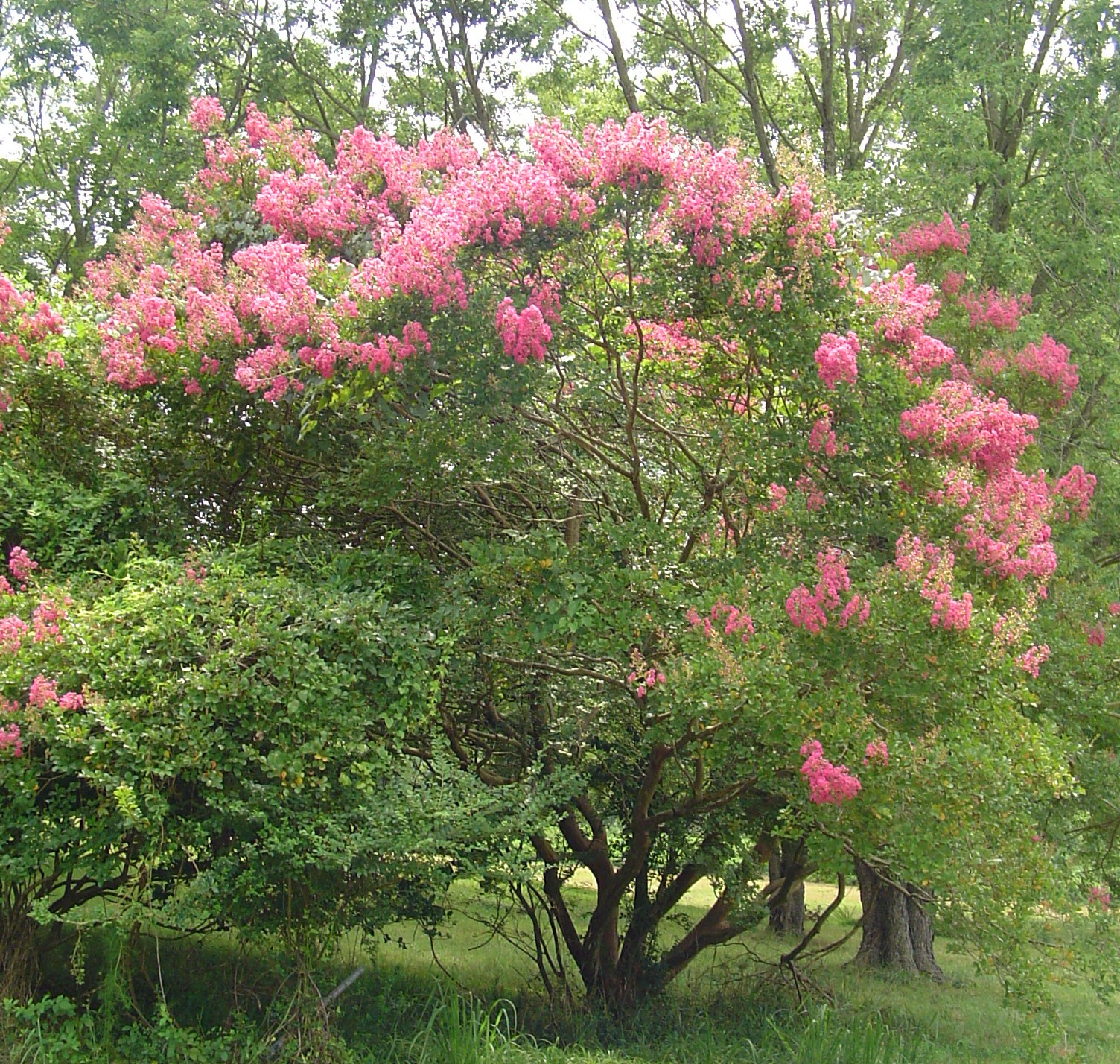 Crepe myrtle tree growth crepe myrtle one hundred days of flowers forest garden nvjuhfo Choice Image