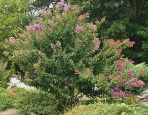 Crepe Myrtle growing in front of a local James City Co. garden center.