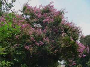 Crepe Myrtle blooming near the Williamsburg Airport in early August.