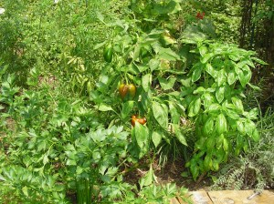Beautiful peppers surrounded by Italian flat leaf parsley, Basil, cucumbers, tomatoes, and various flowering perennials.