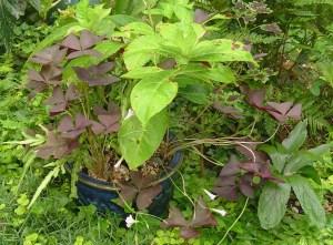 Oxalis with Hydrangea, Coleus and Lenten Roses surround the pot.