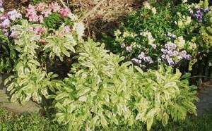 Golden Sage in April growing with violas.