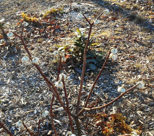 Our Edgeworthia in late February.