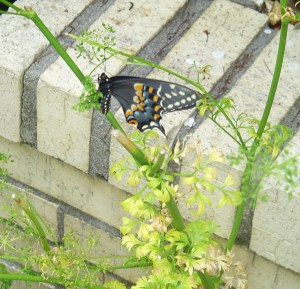 A Spicebush Swallowtail butterfly rests on a parsley plant already grazed by caterpillars.