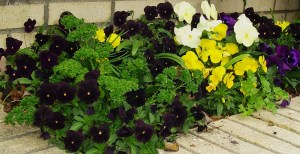 Parsley growing with Violas.
