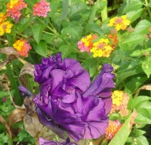"""""""Rosalie Figge"""" reblooming iris, has bloomed this week."""