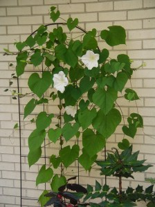 Sept 18, 2013 Moonflowers 010