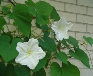 Moonflower, Ipomoea alba