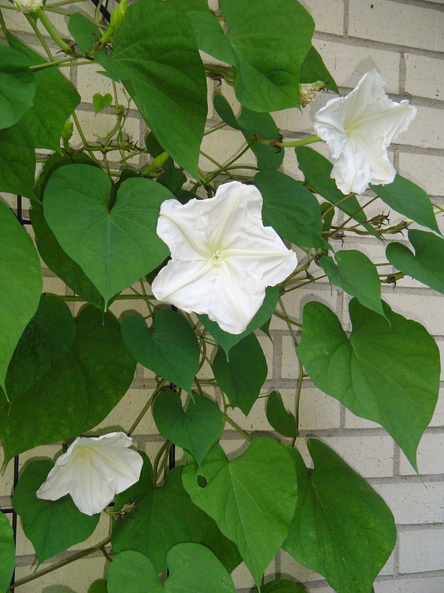 Moonflowers Another Pass Along Plant