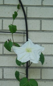 Sept 18, 2013 Moonflowers 014