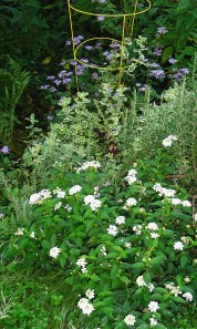 Lantana, Pineapple mint, and Ageratum