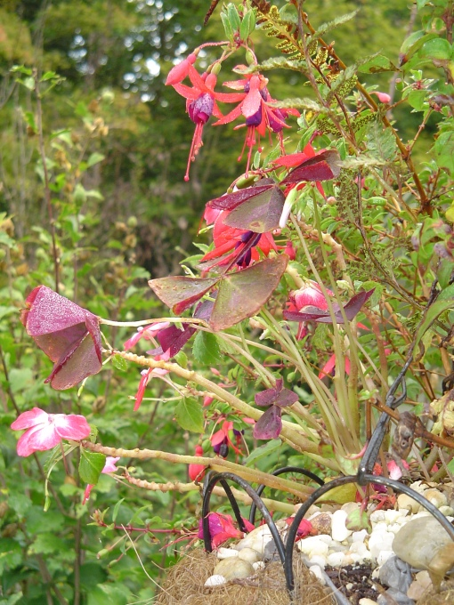 Fuschia beginning to bloom again in the cooler weather, and Oxalis.