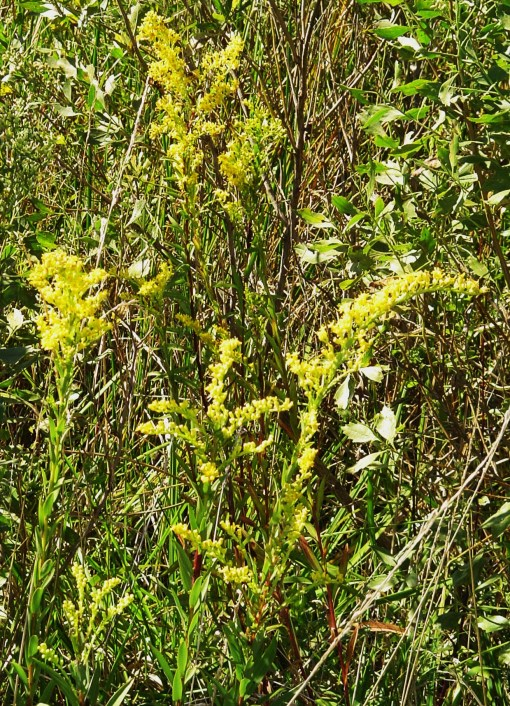 Goldenrod growing in the wild.