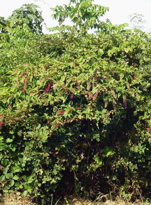 Pokeberries turn inky black, their stems bright magenta in September.  Here, growing in a hedge of blackberry canes.
