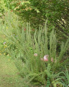 Rosemary can grow into a nice sized evergreen shrub over several years.