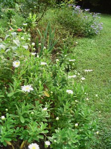 The daisies have finally bloomed in this border on a sunny hillside.