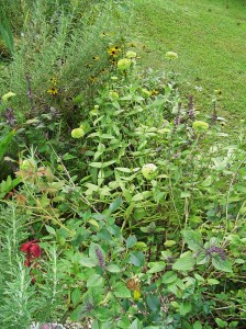 Basil, Rosemary, Zinnias, and sage grow with a first year rose to offer it some protection as it gets established.