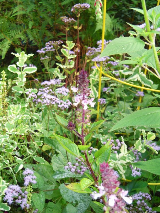 Basil with mint and Ageratum.  Plant mints where there is plenty of room for them to run.  Perennial, they spread, like bamboo, on underground stems.  These Ageratum reseed all over the garden.