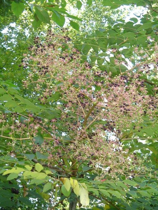The Devil's Walkingstick berries turn dark before the birds take them.