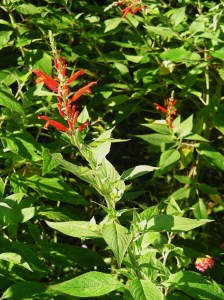 Pineapple Sage, an herbaceous perennial, dies back to the ground each winter.  Its sweet leaves taste like pineapple and can be used for cooking.  It blooms in late summer and is much loved by hummingbirds, bees, and butterflies.