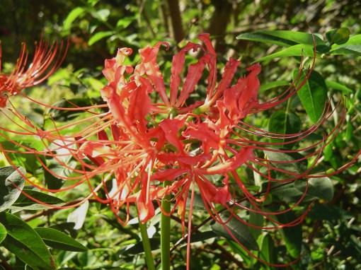 """Lycoris radiata, """"Surprise Lily"""""""