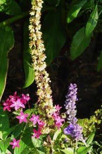 A lonely bee is still hanging around the Pentas, Sage, and Coleus.