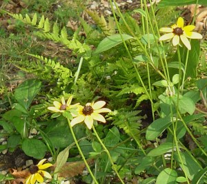 Black Eyed Susans and Autumn fern.