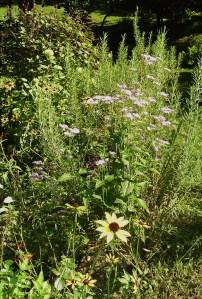 Hardy Ageratum, or Eupatorium coelestinum , has finally bloomed.