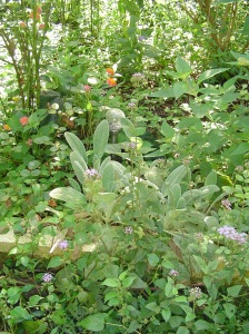 Hardy Ageratum growing with Lantana and Lamb's Ears.