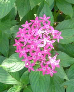 Purple Pentas, still going strong since spring, ae a favorite nectar plant.