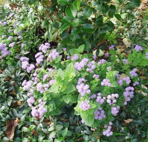 Annual Ageratum, only about eight inches tall, growing with Vinca under a Camellia bush.