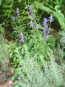 Salvia, with lavender