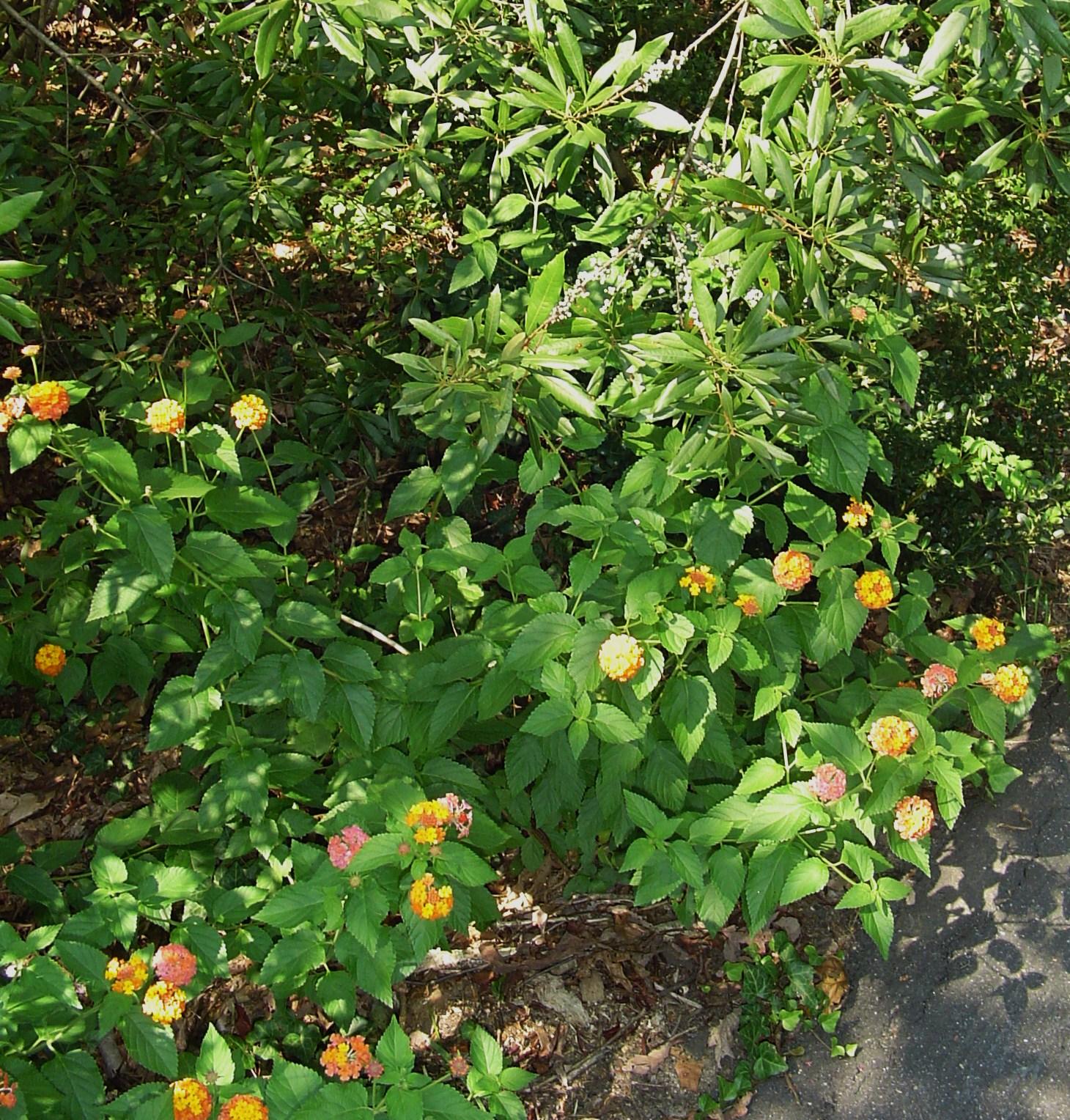 Miss huff perennial lantana forest garden september 8 2013 lantana 002 mightylinksfo Image collections