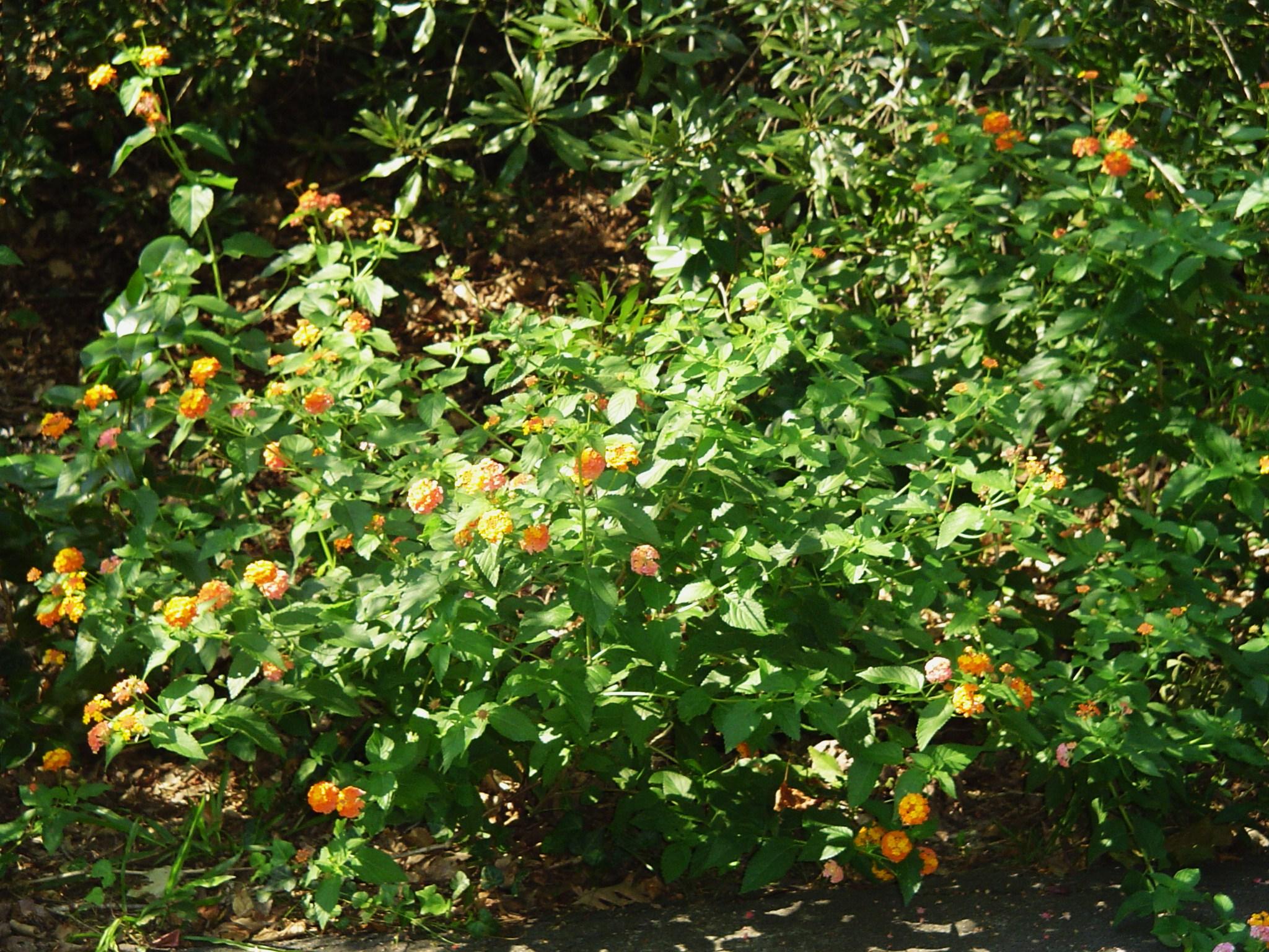 Miss Huff Perennial Lantana Forest Garden