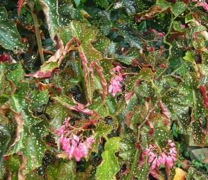 Cane Begonia