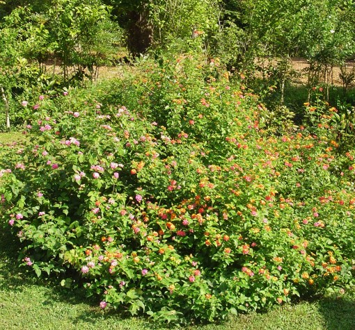 "Several years old now, these ""Bandana"" series Lantana grew to over 6' last summer. They definitely exceed the 24"" of growth promised on their label. This mound is covered in butterflies from sunrise until after sunset."