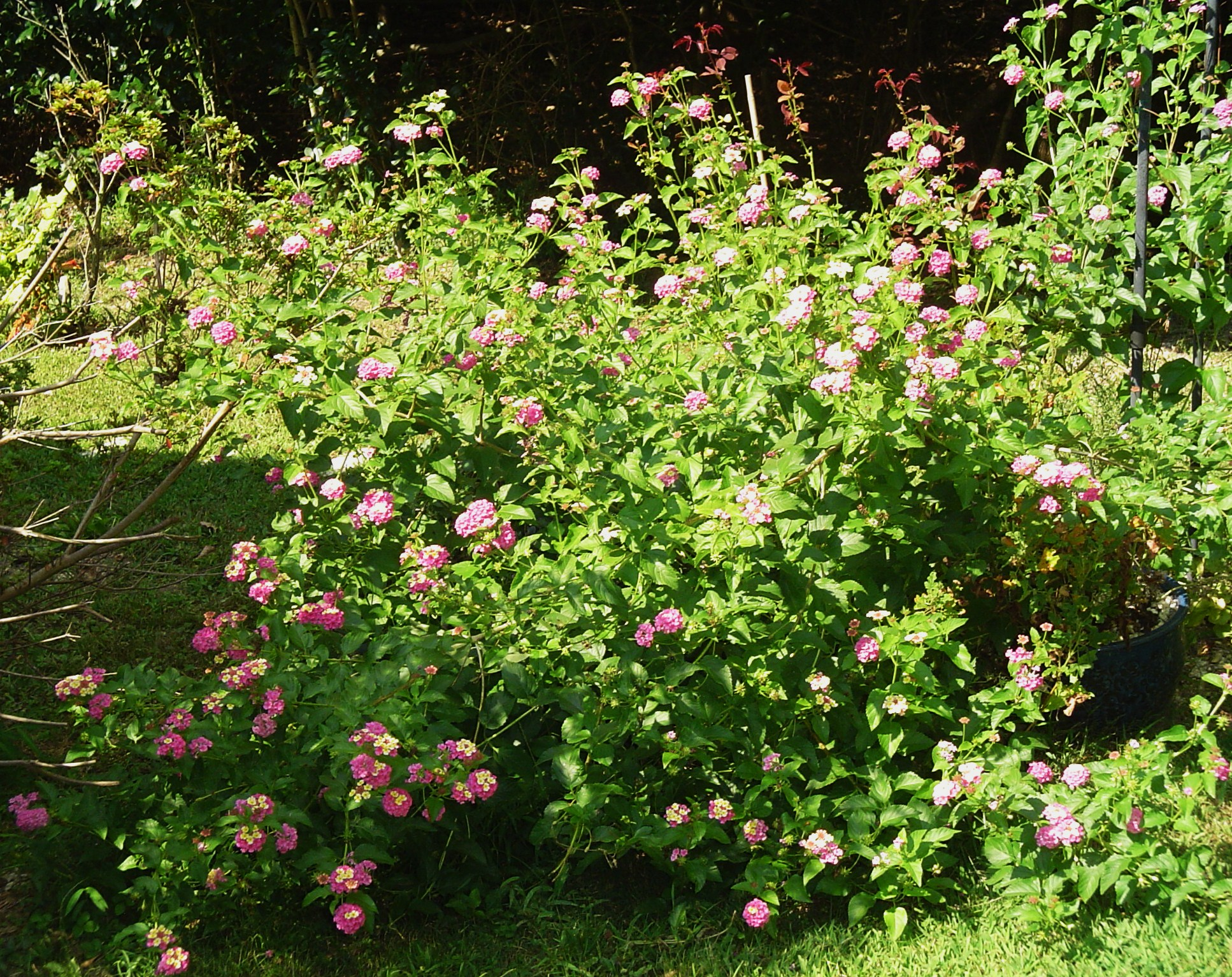 Miss huff perennial lantana forest garden lantana confetti mightylinksfo Image collections